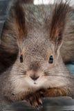 Esquilo na floresta do inverno Imagem de Stock