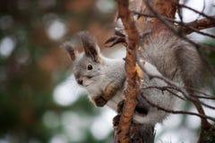 Esquilo na floresta do inverno Fotos de Stock