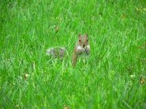 Esquilo na grama Fotografia de Stock Royalty Free