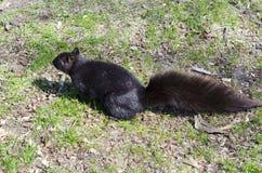 Esquilo na grama Imagem de Stock Royalty Free