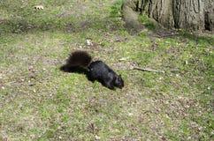 Esquilo na grama Imagens de Stock