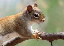 Esquilo na mola Fotografia de Stock Royalty Free