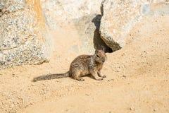 Esquilo na movimentação de 17 milhas em Pebble Beach Foto de Stock Royalty Free