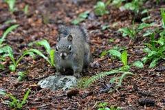 Esquilo na natureza Fotos de Stock Royalty Free