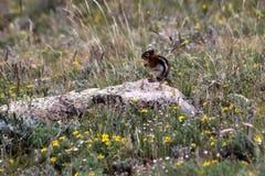 Esquilo na natureza Imagens de Stock