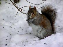 Esquilo na neve Fotos de Stock