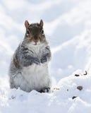 Esquilo na neve imagens de stock royalty free