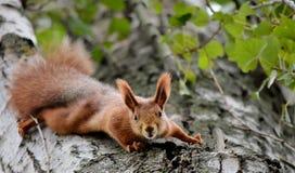 Esquilo na neve Imagens de Stock