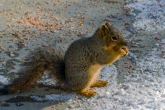 Esquilo na neve Imagem de Stock