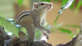 Esquilo na parte superior da árvore no alerta imagens de stock