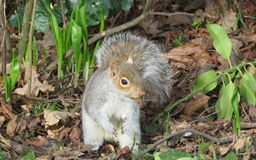 Esquilo na primavera foto de stock