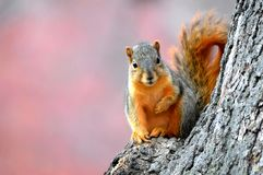 Esquilo na queda foto de stock royalty free
