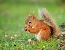 Esquilo na terra Imagem de Stock