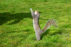 Esquilo na terra Fotos de Stock