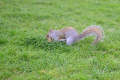 Esquilo na terra Imagens de Stock Royalty Free