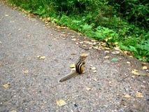 Esquilo na trilha Imagens de Stock