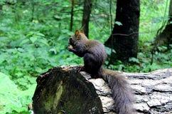 Esquilo nas madeiras Imagem de Stock Royalty Free