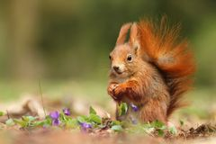 Esquilo nas violetas Imagens de Stock Royalty Free