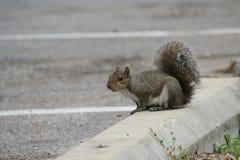 Esquilo no amortecedor do carro no parque que descasca o lote Fotografia de Stock
