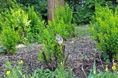 Esquilo no arbusto Fotografia de Stock Royalty Free