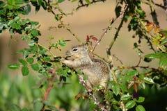 Esquilo no arbusto cor-de-rosa Imagem de Stock