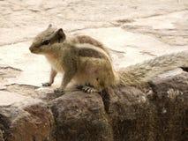 Esquilo no assento exterior na rocha Imagem de Stock Royalty Free