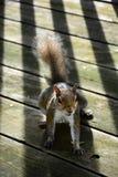 Esquilo no balcão Imagem de Stock Royalty Free
