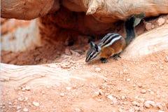 Esquilo no deserto Imagens de Stock