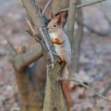 Esquilo no inverno que senta-se no ramo de árvore Fotos de Stock Royalty Free
