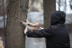 Esquilo no jardim de Neskuchny em Moscou Foto de Stock