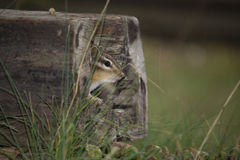 Esquilo no log oco Imagens de Stock Royalty Free