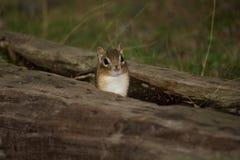 Esquilo no log oco Imagem de Stock Royalty Free