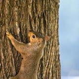 Esquilo no nascer do sol Fotografia de Stock Royalty Free
