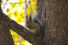 Esquilo no outono que senta-se no ramo de uma árvore Foto de Stock