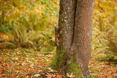 Esquilo no parque Imagem de Stock