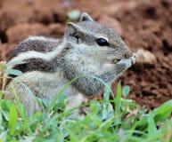 Esquilo no parque Foto de Stock