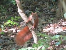 Esquilo no parque Imagens de Stock