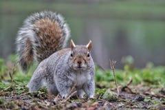 Esquilo no parque Fotos de Stock Royalty Free