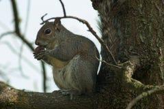Esquilo no parque com árvore Imagem de Stock