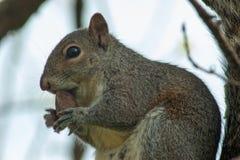 Esquilo no parque com árvore Foto de Stock Royalty Free