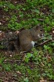 Esquilo no parque com árvore Fotografia de Stock