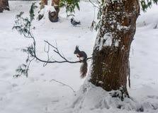 Esquilo no parque da cidade do inverno Fotos de Stock Royalty Free