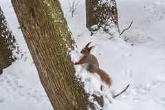 Esquilo no parque da cidade do inverno Imagem de Stock Royalty Free