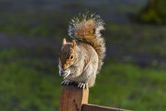 Esquilo no parque de St James, Londres #4 Foto de Stock Royalty Free