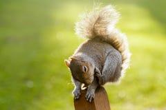 Esquilo no parque de St James, Londres #0 Imagens de Stock Royalty Free