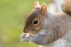 Esquilo no parque de St James, Londres #3 Fotografia de Stock