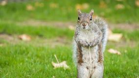 Esquilo no parque do outono Imagem de Stock