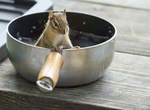 Esquilo no potenciômetro de acampamento Fotografia de Stock Royalty Free