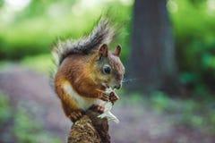 Esquilo no ramo com cogumelo Fotos de Stock Royalty Free