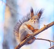 Esquilo no ramo de árvore imagens de stock